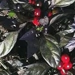 Black Pearl Pepper Seeds
