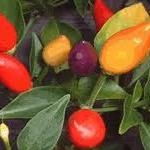 Heirloom Bolivian Rainbow Pepper Seeds