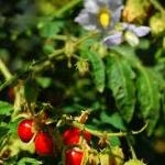 Litchi Berry Tomato Seeds