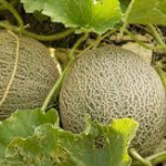Tip Top Melon (Cantaloupe) Seeds